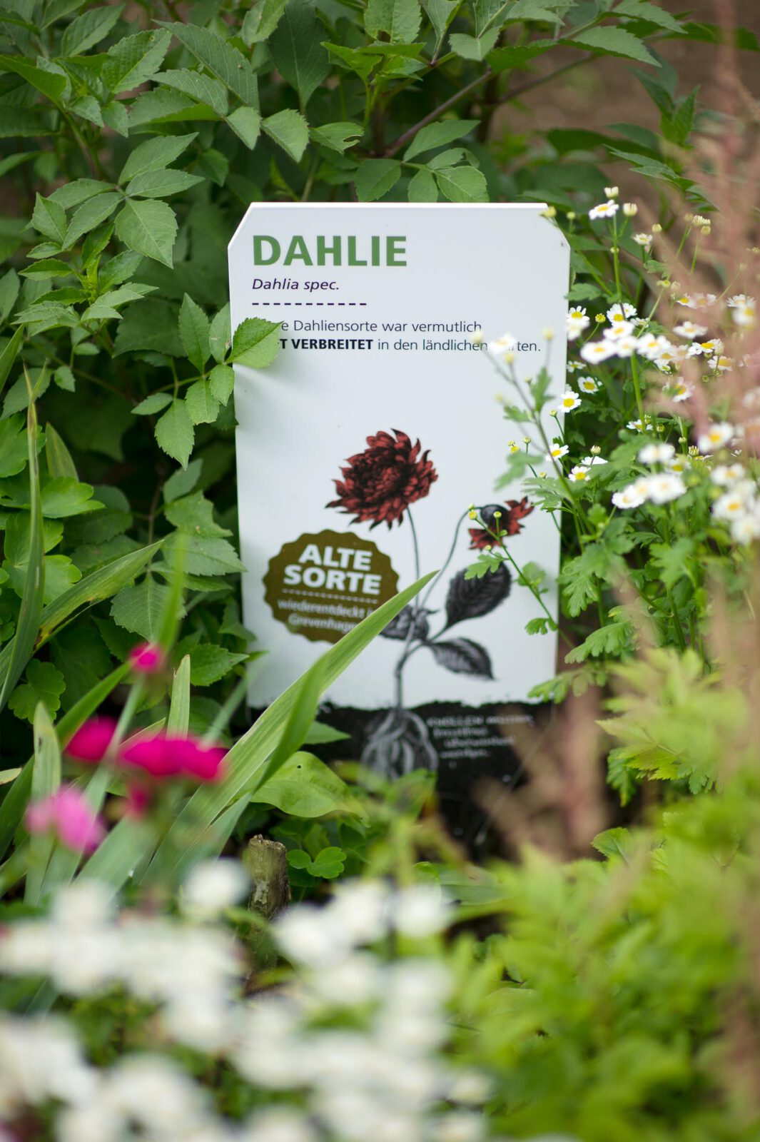 2_S_DSC5901_Dahlie